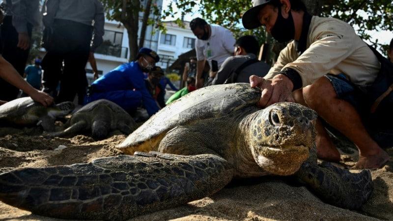 Rescued Sea Turtles in Indonesia