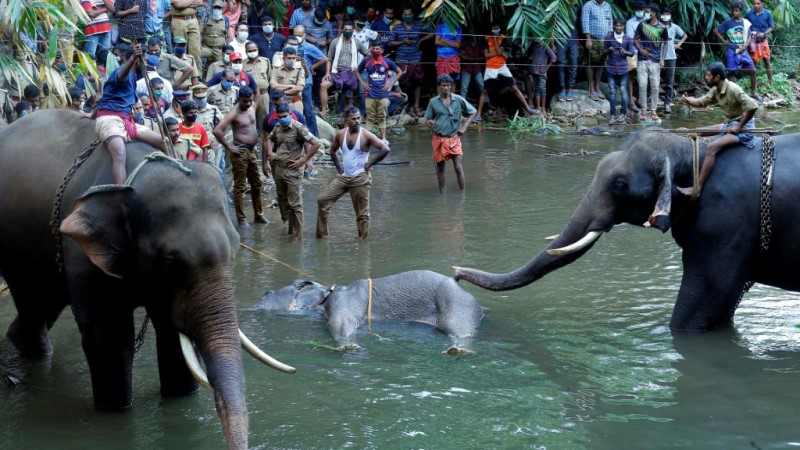 Retrieved Dead Elephant In the Indian State of Kerala.afp