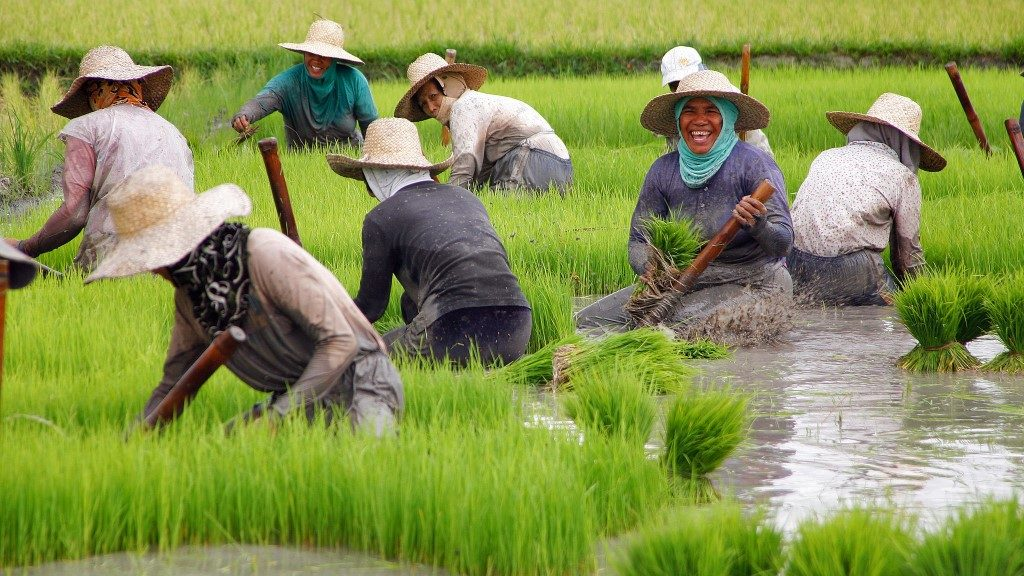 Rice Harvest in Nueva Vizcaya, Philippines -