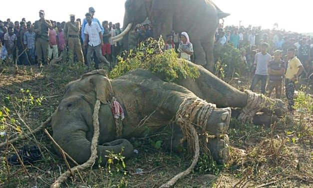 The 'Bin Laden' Elephant Finally Caught After Killing 5 People in India