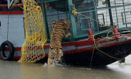 Indian Tigers Came Out to Play Under Shutdown