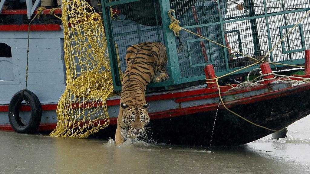 Royal Bengal Tigers in India.afp