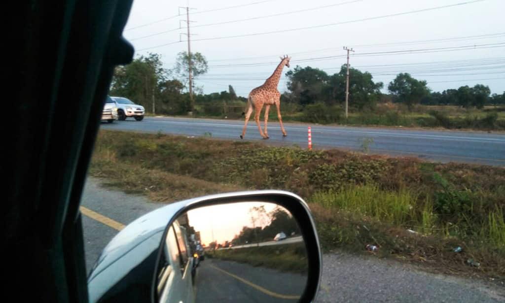 Runaway Giraffe in Bang Khla Thailand.afp
