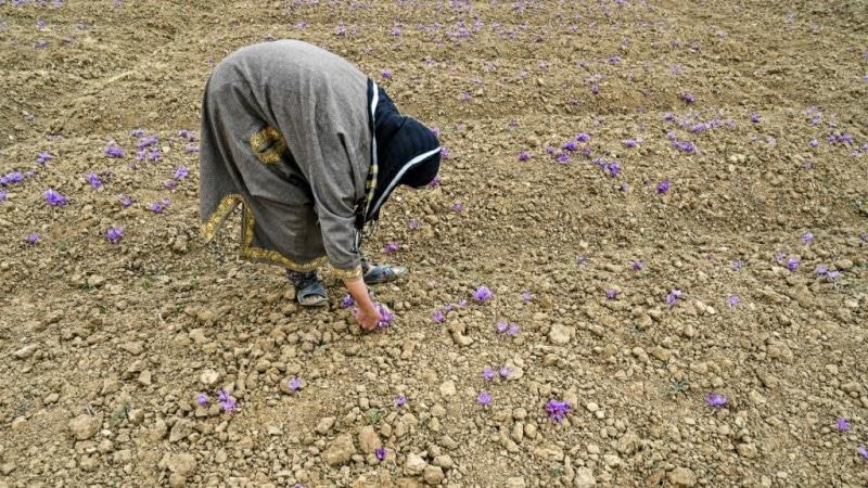Saffron Fields in Kashmir