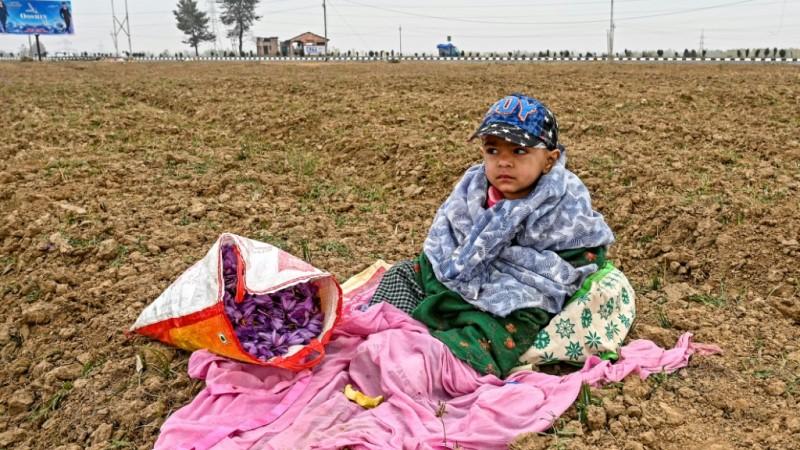 Saffron Harvest Season
