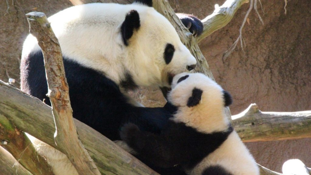 San Diego Zoo - Xiao Liwu and Mom