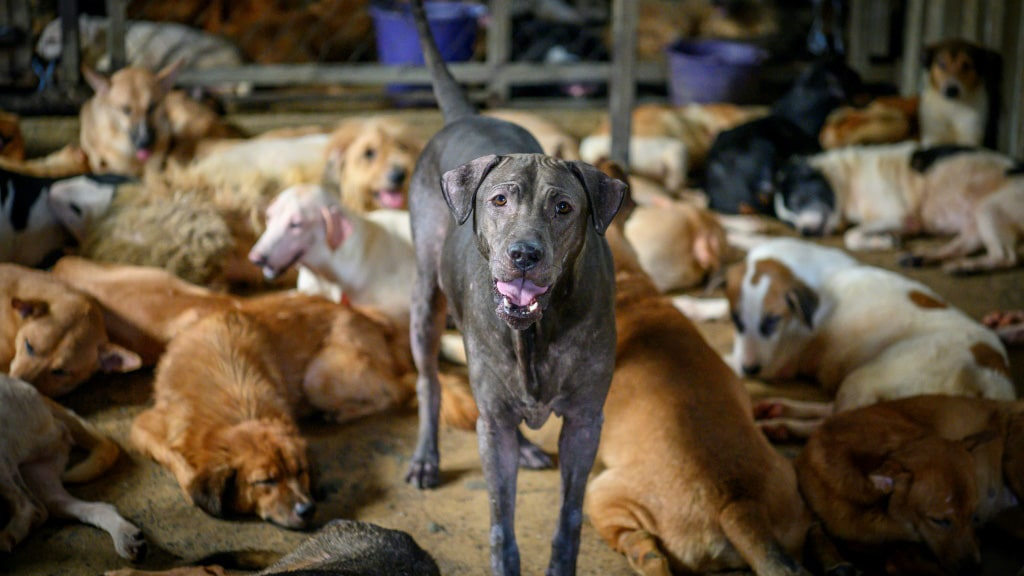 Shelter for Stray Dogs Thailand.afp
