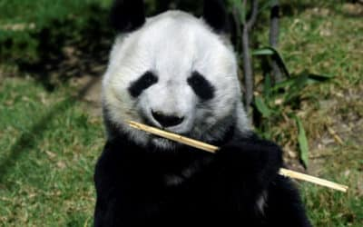 Mexico's Pandas: The Only Ones in the World Not Owned by China