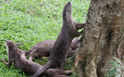 Singapore Otters are Popping up in Unexpected Places During Lockdown