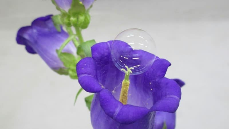 Soap Bubbles can be Used to Pollinate Flowers.afp