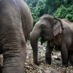 """Unemployed"" Thai Elephants Return Home in Mass Migration"