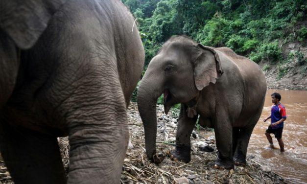 """Unemployed"" Thai Elephants Return Home in Mass Migration"