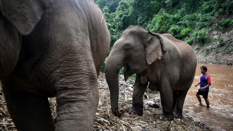 Some 3,000 Domesticated Elephants have been Unemployed in Thailand.afp
