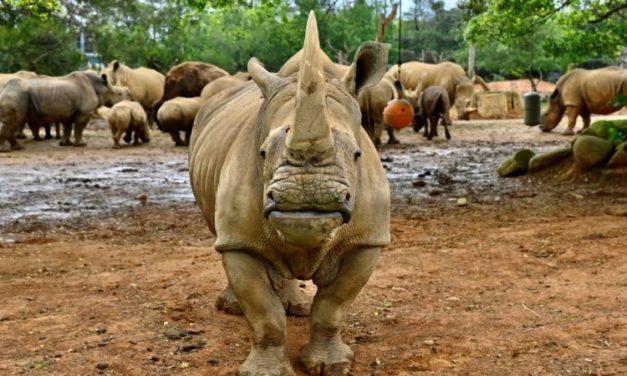 Taiwan Prepares White Rhino 'Emma' to Find Mate in Japan