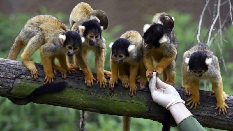 Squirrel Monkeys at Taipei Zoo
