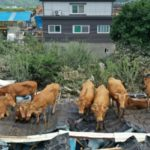 South Korea Floods Leave Cows Stranded on Tin Roofs