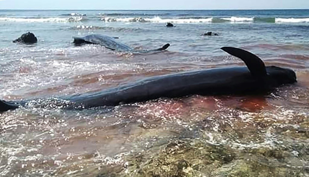 Stranded Whale Indonesia ©AFP