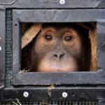 Two Smuggled Indonesian Orangutans Fly Home from Thailand
