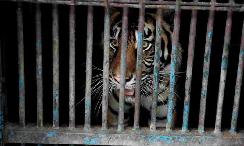 Sumatran Tigers Tested Positive with Covid-19