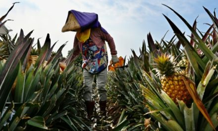 China Ban Sours Taiwan's 'Freedom Pineapple' Harvest