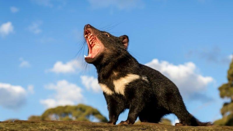 Tasmanian Devils on Australia