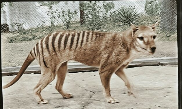 Extinct Tasmanian Tiger Brought to Life in Color Footage