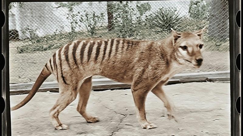 Tasmanian Tiger 85 Years Ago