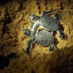 Malaysian State to Ban All Turtle Eggs Trade