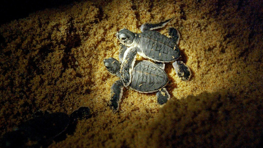 Terengganu the Biggest Nesting Centre for Turtles in Malaysia.afp