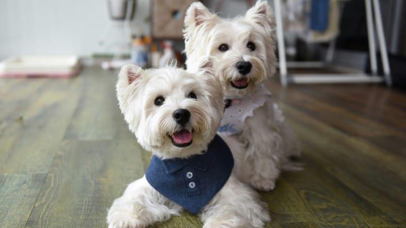 Terriers Sasha and Piper
