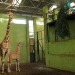 Newborn Baby Giraffe Named 'Corona' in Bali's Zoo