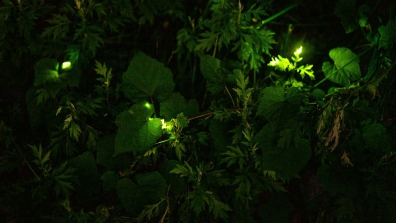 The Natural Firefly Spectacle