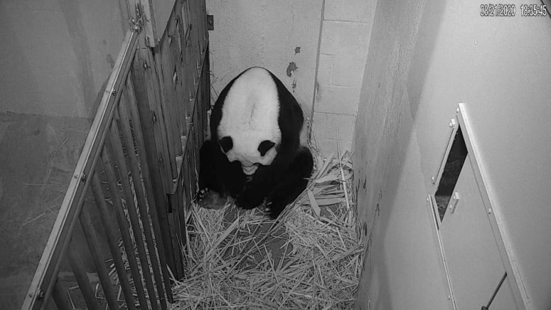 The New Mother Panda