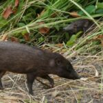 World's Smallest Hog Released into Wild in India by Conservationists