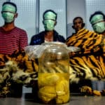 Indonesia Suspects Arrested for Poaching Sumtran Tigers