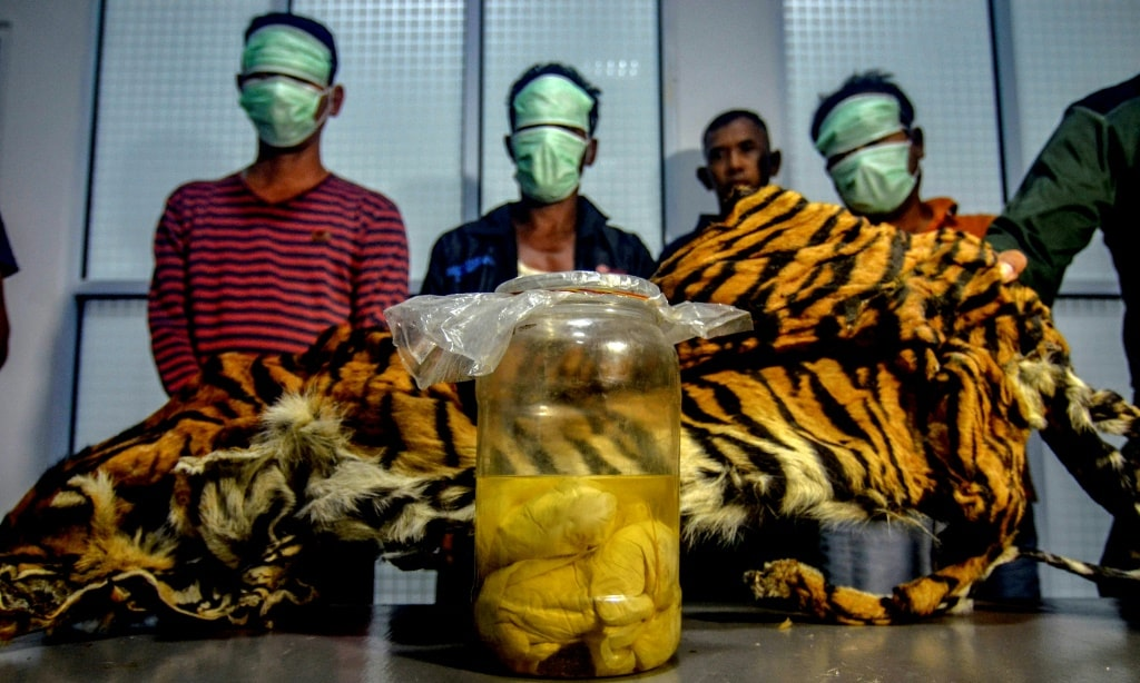 Tiger Skin and Fetuses Indonesia ©AFP