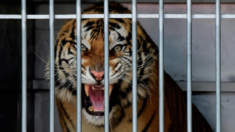 Tigers Commercial Trade Ban