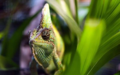 Study Found Reptiles Vulnerable to Global Lizard 'Laundering'