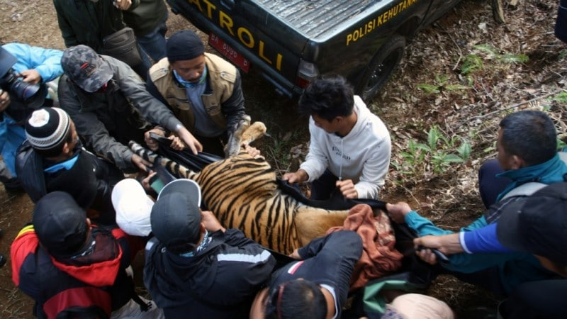 Tranquilized and to be Relocated Tiger in Sumatra.afp