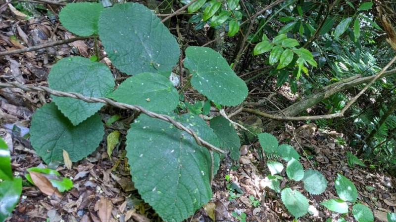 Tree Found in Northeast Queensland