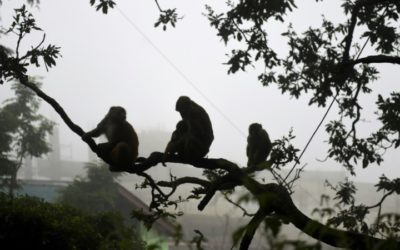 Marauding Monkeys Bring Fear to Historic Indian Tourist Haven