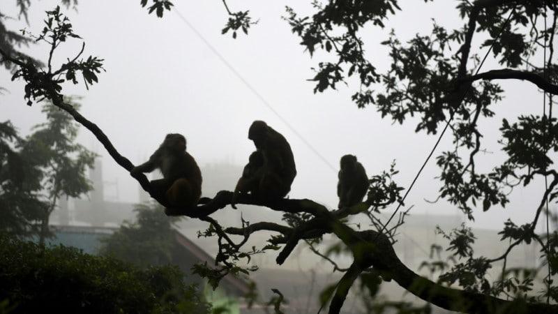 Troops of Monkeys
