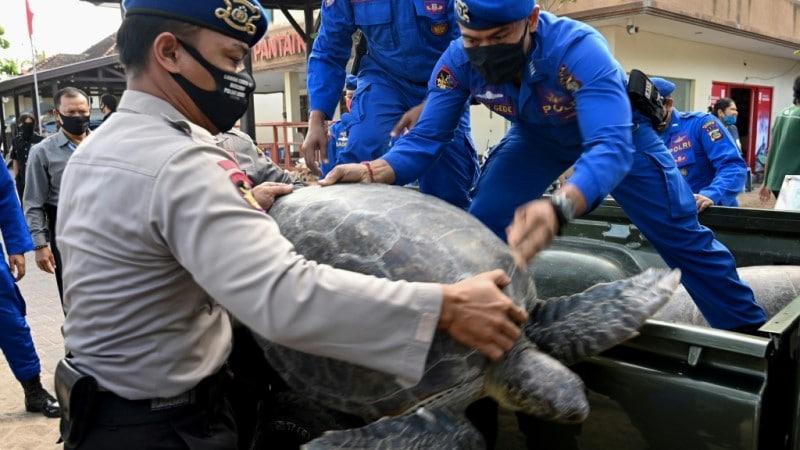 Turtles for Release to Kuta Beach