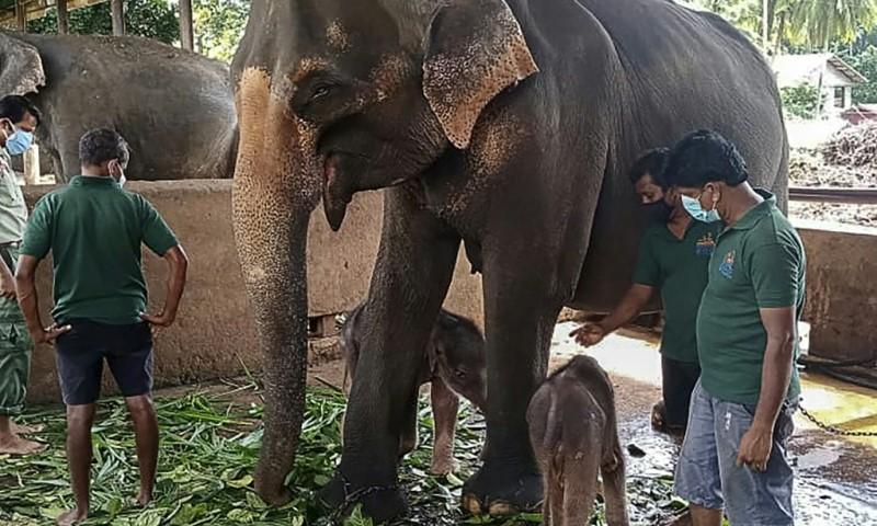 Twin Elephant at Pinnawala Elephant Orphanage