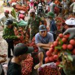 Vietnam's Lychee Crop Not Bearing Fruit as Prices Slump
