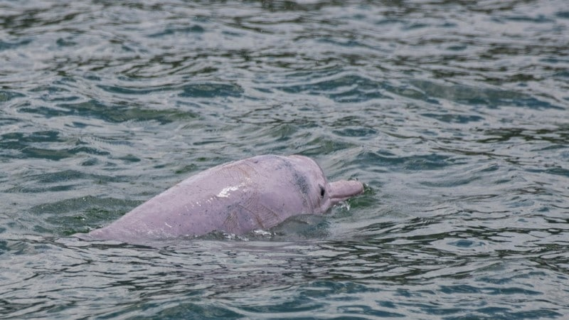 Vulnerable Dolphin Population
