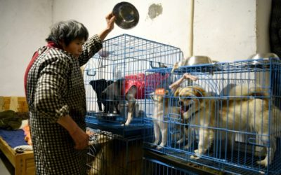China Animal Rescuer Shares Home With 1,300 Dogs