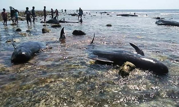 Seventeen Whales Stranded in Indonesia, Ten Saved
