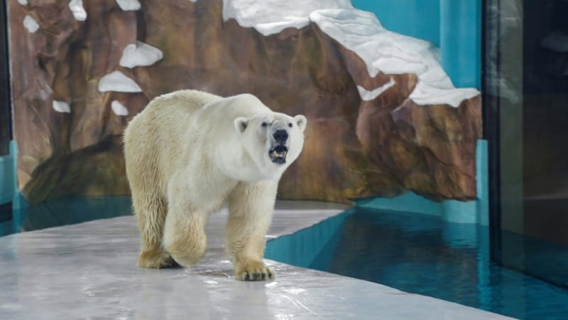 Wild Polar Bear