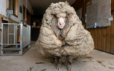 Aussie Sheep Sheds Huge Coat after Years on the Lam